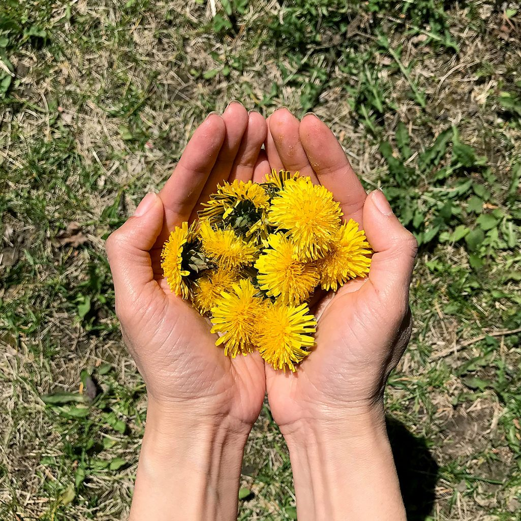 Tiny Trash Can dandelion benefits