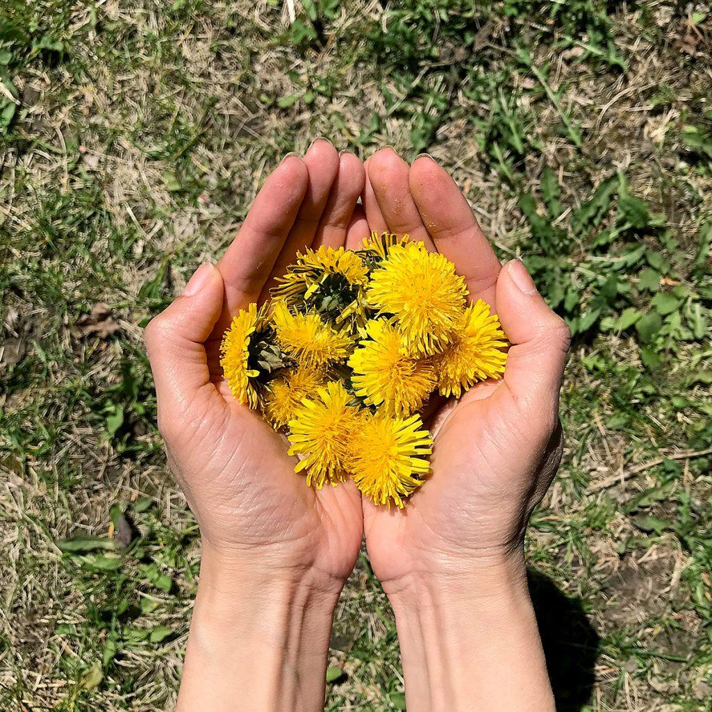 Tiny Trash Can dandelion benefits